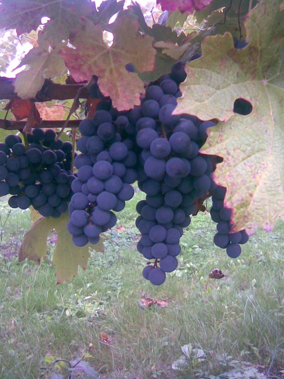 Подарок Магарача - винный сорт виноград - fo 53