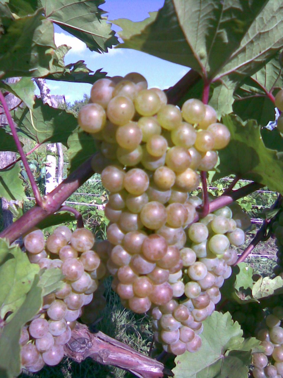 Сорт винограда подарок магарача фото и описание отзывы